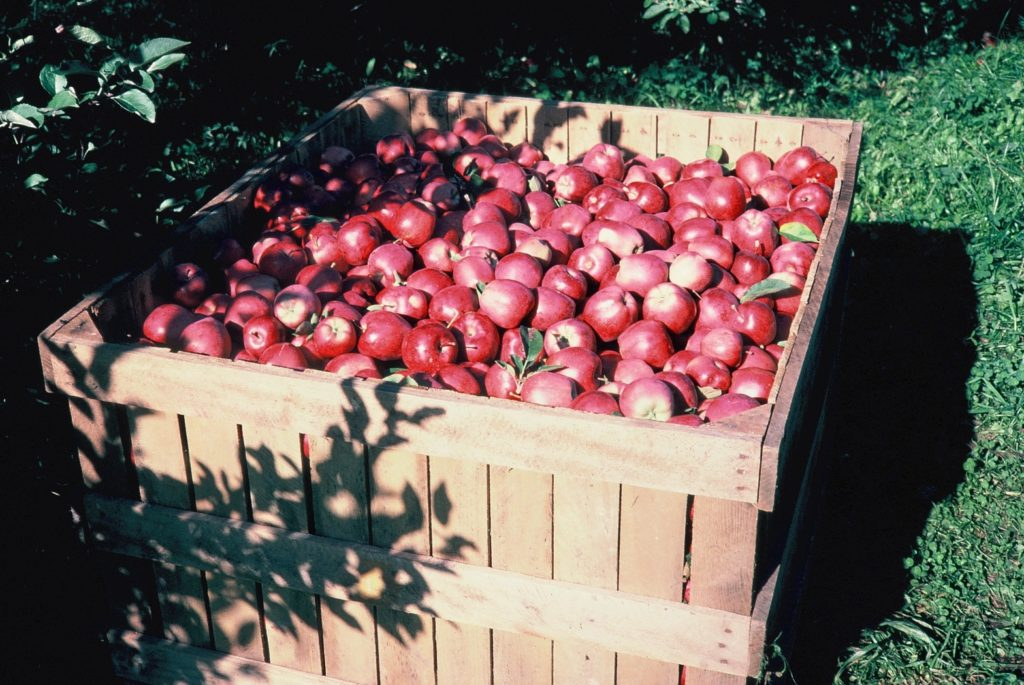 A giant apple bin, apples picked fresh right at Tanners Orchard
