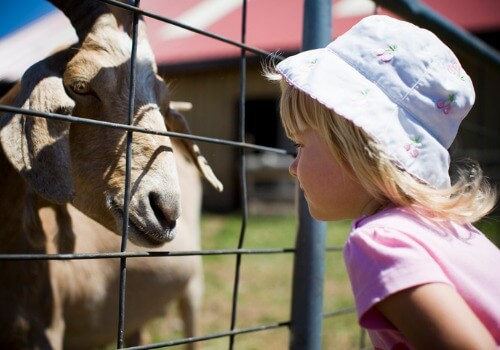 A young girl looking at a goat in a petting zoo and enjoying other Kids Activities near Bloomington IL