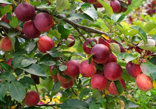 Closeup of apples on a branch at an Apple Orchard for Galesburg IL