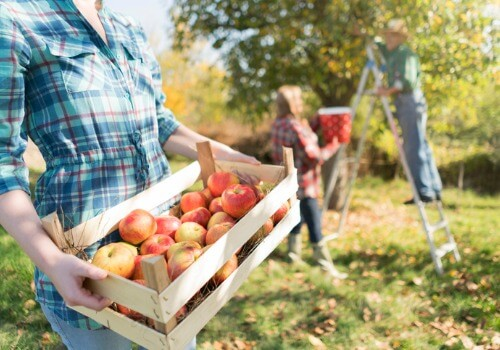 Farmers picking apples at an Apple Orchard in Peoria IL