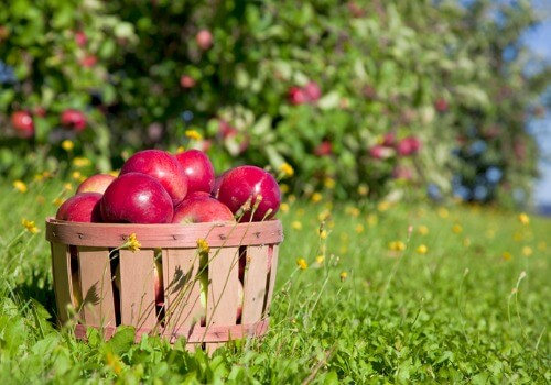 A basket of apples sitting on the ground in an Apple Orchard for Galesburg IL