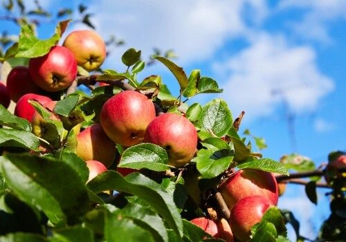 The top of a tree with red apples growing from a branch, at an Apple Orchard in Peoria IL