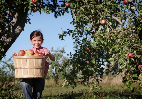 A A child holding a basket of apples in an Apple Orchard for Bloomington IL