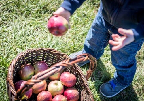 Child placing apples in a basket at an Apple Orchard for LaSalle IL